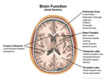 Axial cut-away through brain revealing functions of basal ganglia, corpus callosum, and lobes.