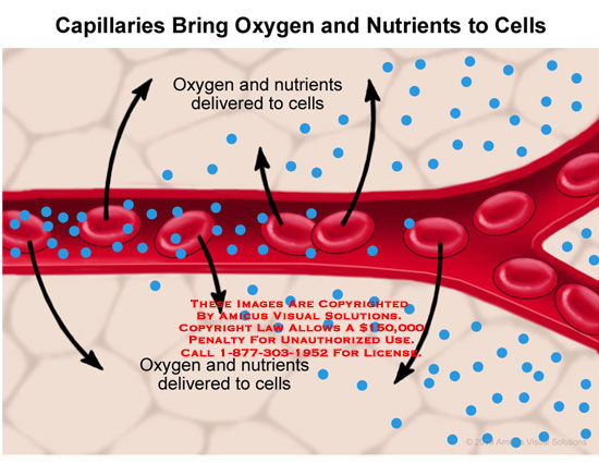 Capillary with RBCs delivering oxygen and nutrients to cells.