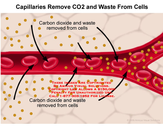 Capillary with carbon dioxide and waste being removed from cells.