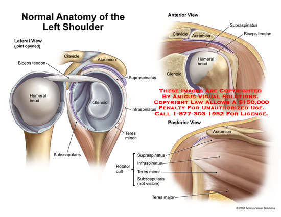 amicus,anatomy,normal,shoulder,lateral,view,joint,opened,biceps,tendon,clavicle,acromion,supraspinatus,glenoid,infraspinatus,teres,minor,subscapularis,humeral,head,rotator,cuff,major