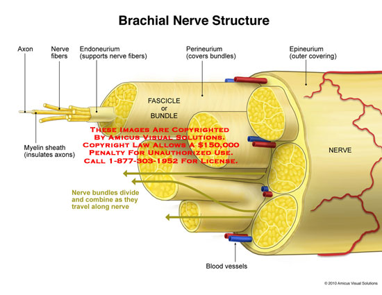 amicus,anatomy,brachial,nerve,structure,axon,myelin,sheath,nerve,fibers,endoneurium,fascicle,bundle,perineurium,epineurium,blood,vessels