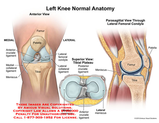 Amicus illustration of amicusanatomykneefemurpatellacruciate left knee normal anatomy no description available ccuart Image collections