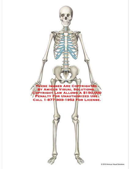 amicus,anatomy,skeletal,system,bones,skeleton