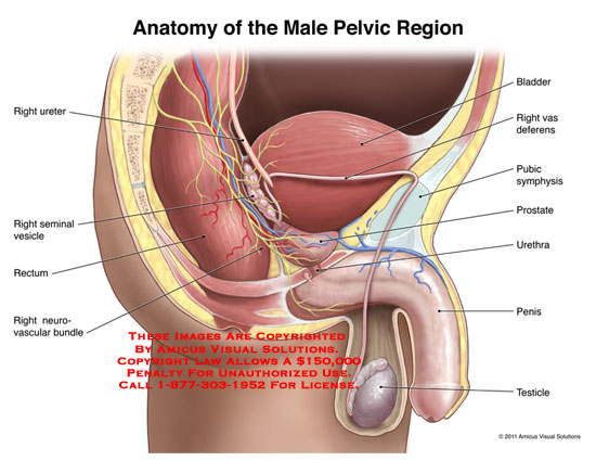 amicus,anatomy,male,pelvic,region,right,ureter,seminal,vesicle,rectum,neurovascular,bundle,bladder,vas,deferens,pubic,symphysis,prostate,urethra,penis,testicle
