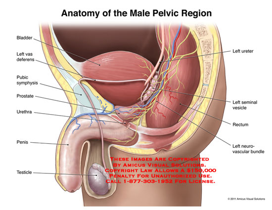 amicus,anatomy,male,pelvic,region,left,ureter,seminal,vesicle,rectum,neurovascular,bundle,bladder,vas,deferens,pubic,symphysis,prostate,urethra,penis,testicle