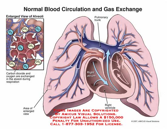 amicus,anatomy,lungs,blood,circulation,gas,exchange,alveoli,carbon,dioxide,oxygen,respiration,pulmonary,trunk,atrium,ventricle