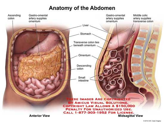 amicus,anatomy,colon,gastro-omental,artery,omentum,liver,stomach,ascending,transverse,descending,intestine,small,colic,