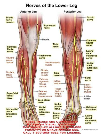 AMICUS Illustration of amicus,anatomy,nerves,lower,leg,sciatic ...