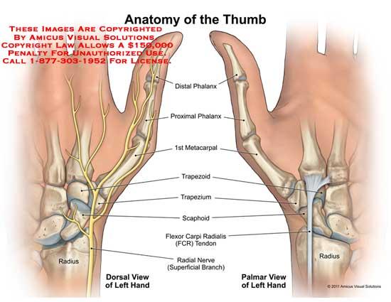 amicus,anatomy,thumb,radius,radial,nerve,flexor,carpi,radialis,FCR,tendon,scaphoid,trapezium,trapezoid,1st,first,metacarpal,phalanx