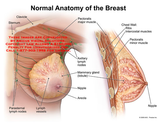 amicus illustration of amicus anatomy breast clavicle sternum rh medicalexhibits com Areolar Tissue Diagram diagram of areolar connective tissue