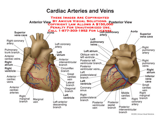 cardiac arteries and veins no description yet illustration of anatomyheartcardiacarteriesveins heart disease
