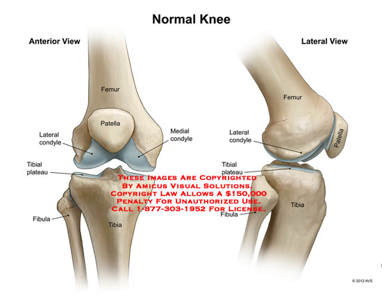 amicus,anatomy,knee,bones,femur,patella,condyle,tibial,plateau,fibula