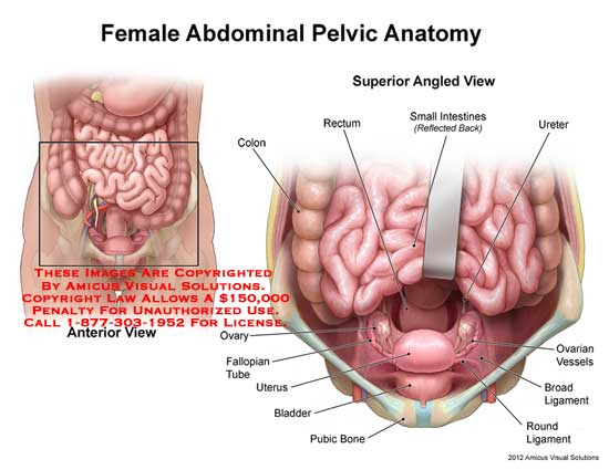 Female pelvic anatomy ligaments