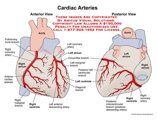 amicus,anatomy,heart,cardiac,arteries,artery,aorta,pulmonary,trunk,branch,coronary,ventricle,marginal,diagonal,circumflex,atrium,descending,interventricular