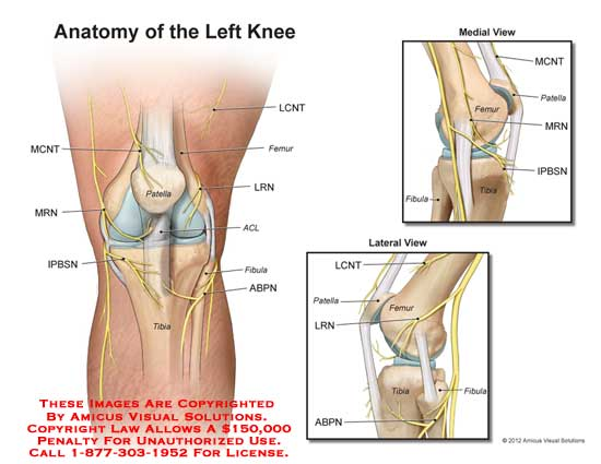 Medical exhibits demonstrative aids illustrations and models amicusanatomykneemcntmrnpatellaipbsnlcnt ccuart Image collections