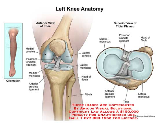 Knee anatomy ccuart Images