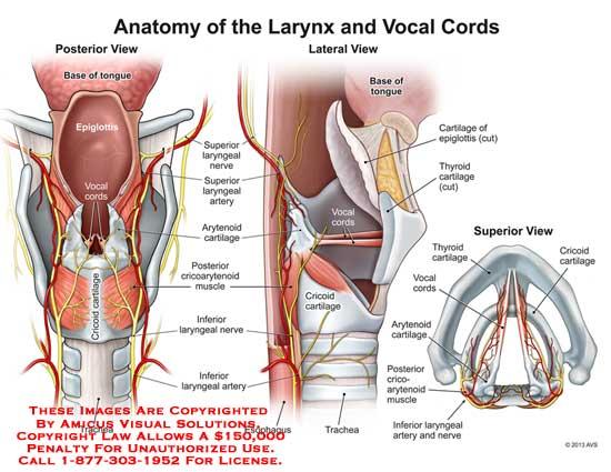 amicus,anatomy,larynx,vocal,cord,base,tongue,epiglottis,cricoid,cartilage,trachea,cricoarytenoid,laryngeal,nerve,superior,artery,arytenoid,inferior,esophagus,thyroid