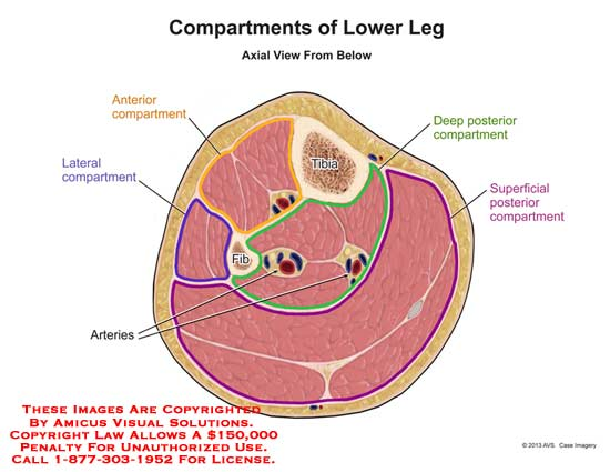 amicus,anatomy,compartments,lower,leg,arteries,muscle,tibia,fibula,lateral,anterior,superficial,posterior,deep