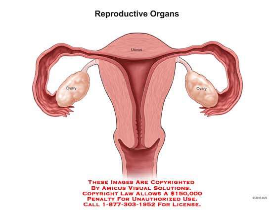 amicus,anatomy,reproductive,organ,ovary,uterus,female