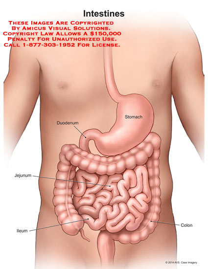 Essay on small intestine