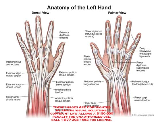 In The Thumb Ligaments Diagram  Hand Finger Anatomy Ot