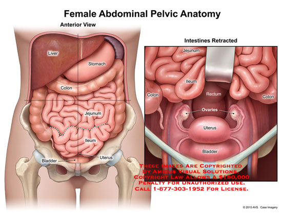 amicus,anatomy,pelvis,pelvic,abdominal,female,digestive,reproductive,urinary,anterior,view,retracted,intestines,liver,stomach,colon,jejunum,ileum,bladder,uterus,rectum,ovaries,