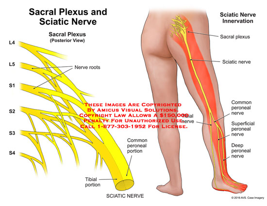 amicus,anatomy,sacral,plexus,sciatic,nerve,L4,L5,S1,S2,S3,S4,root,common,peroneal,tibial,portion,innervation,superficial,deep
