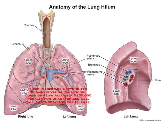 amicus,anatomy,lung,hilum,trachea,bronchus,upper,lobe,middle,lower,pulmonary,artery,bronchus,veins