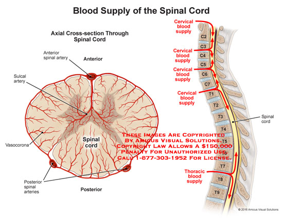 amicus,anatomy,blood,supply,spinal,cord,axial,cross-section,anterior,posterior,artery,sulcal,vasocorona,cervical,thoracic