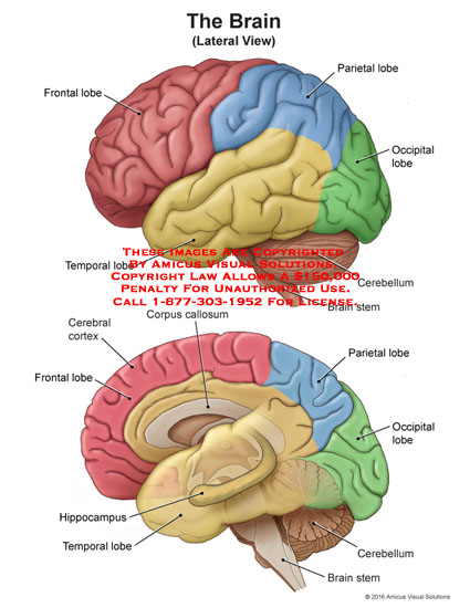 amicus,anatomy,brain,lateral,view,frontal,lobe,parietal,occipital,temporal,cerebellum,stem,corpus,callosum,cerebral,cortex,hippocampus