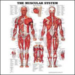 anatchart,chart,muscles,muscular,system,Bachin,anterior,posterior,diaphragm,abdominal,foot,hand,paper,unmounted