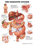 anatchart,chart,digestive,system,anatomy,oral,cavity,glands,stomach,liver,pancreas,duodenum,wall,section,jejunum,colon,arterial,blood,supply,arteries,laminated