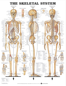 anatchart,chart,bones,skeletal,system,Bachin,anterior,lateral,posterior,long,auditory,ossicles,ligaments,hand,foot,knee,joint,paper,unmounted
