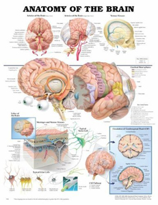 anatchart,chart,anatomy,brain,cortex,brain-stem,stem,nerve,eye,neural,lobes,arteries,venous,sinuses,cerebral,hemispheres,meninges,nerve,cell,glial,cerebrospinal,fluid,circulation,paper,unmounted