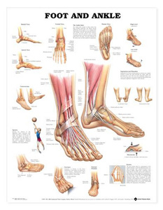 anatchart,chart,foot,ankle,anatomy,bones,muscles,tendons,medial,frontal,lateral,plantar,views,section,supination,pronation,hammertoe,bunion,sprains,fractures,fixation,paper,unmounted