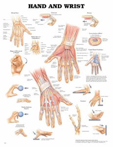 anatchart,chart,hand,wrist,muscle,tendon,anatomy,carpal,bones,extension,flexion,movement,thumb,tunnel,syndrome,fractures,avulsion,injuries,paper,unmounted