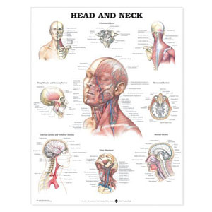 anatchart,chart,head,neck,muscles,veins,nerves,arteries,bones,deep,sensory,internal,carotid,vertebral,structures,paper,unmounted