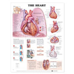 anatchart,chart,heart,wall,valves,coronary,arteries,cardiac,cycle,blood,pressure,conduction,paper,unmounted