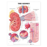 anatchart,chart,kidney,anatomical,organs,veins,arteries,parenchyma,nephron,renal,corpuscle,structure,histology,juxtaglomerular,apparatus,paper,unmounted