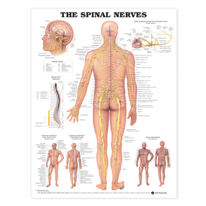 anatchart,chart,spinal,nerves,anatomy,cranial,diagrams,thoracic,cord,segments,cutaneous,distribution,dermal,segmentation,paper,unmounted