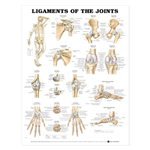 anatchart,chart,ligaments,joints,location,shoulder,hip,knee,elbow,ankle,wrist,paper,unmounted