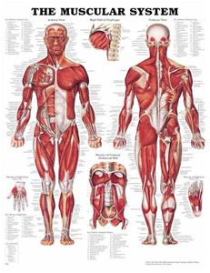 anatchart,chart,muscles,muscular,system,Bachin,anterior,posterior,diaphragm,abdominal,foot,hand,plastic,styrene