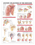 anatchart,chart,shoulder,injuries,anatomy,bones,muscles,ligaments,veins,arteries,socket,joint,impingement,syndrome,rotator,cuff,tear,humeral,fracture,acromioclavicular,separation,bicipital,tendon,dislocation,humerus,bankart,lesion,hill,sachs,paper,unmounted