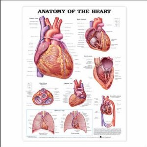 anatchart,chart,heart,anatomy,ventricles,valves,blood,circulation,paper,unmounted