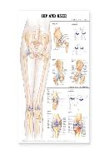 anatchart,chart,hip,knee,skeletal,ligaments,anatomy,joint,bones,adduction,abduction,extension,flexion,popliteus,muscle,flexion,extension,paper,unmounted