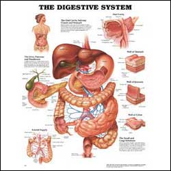 anatchart,chart,digestive,system,anatomy,oral,cavity,glands,stomach,liver,pancreas,duodenum,wall,section,jejunum,colon,arterial,blood,supply,arteries,paper,unmounted