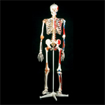 anatchart,model,skeleton,bones,landmarks,lifesize,anatomy,skull,ribcage,spine,vertebrae,flexible,part