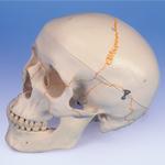anatchart,model,skull,jaw,occipital,sphenoid,ethmoid,vomer,mandible,parietal,temporal,palantine,nasal concha,maxilla,teeth,lacrimal,zygomatic,nasal,numbered
