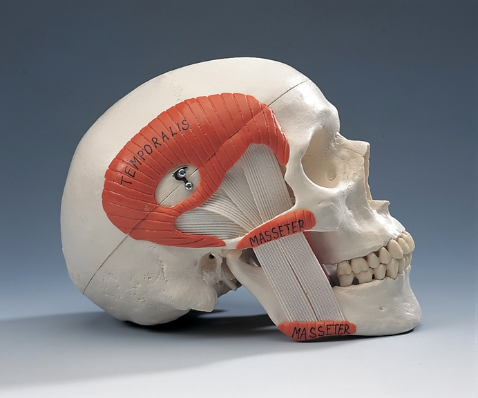 anatchart,model,skull,ptergoids,temporal,masseter,muscle,mandibular,jaw,teeth,nasal