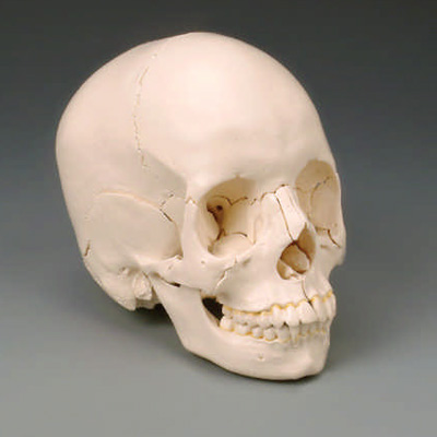 anatchart,model,skull,dissectable,pieces,parts,occipital,sphenoid,ethmoid,vomer,mandible,parietal,temporal,palantine,nasal concha,maxilla,teeth,lacrimal,zygomatic,nasal,colored,labeled,